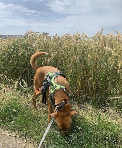 K9sOverCoffee.com |  Wally avec le Mighty Paw Sport Harness 2.0 lors d'une promenade dans les champs en Allemagne rurale