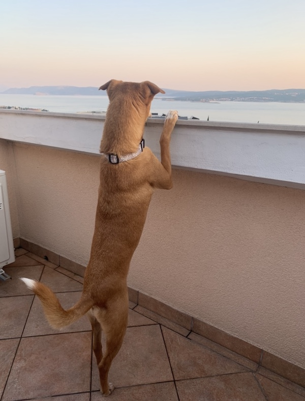K9sOverCoffee.com | Croatia with dogs - Wally's enjoying the view over the Adriatic Sea