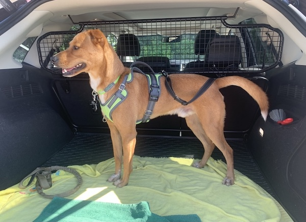 K9sOverCoffee.com | Securing Wally in the car with the Mighty Paw headrest seat belt